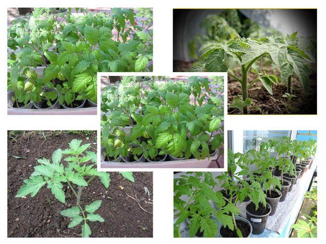 Желтеют листья у рассады томатов что делать 81