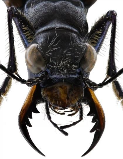 Нижние челюсти Жвалы жук