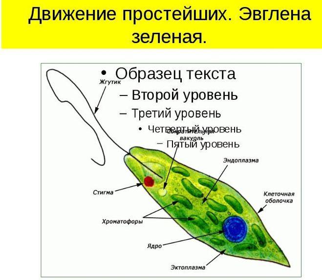 Белковые нити, находящиеся под оболочкой организма, помогают организму сокращаться и тем самым передвигаться.