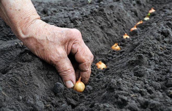 Когда сажать лук севок в открытый грунт в 2017 году по Лунному календарю?