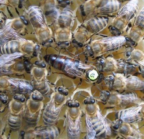 купить пчеломатка