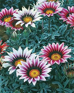 Садовые однолетки цветы