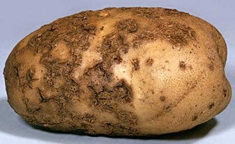 картофель с паршей