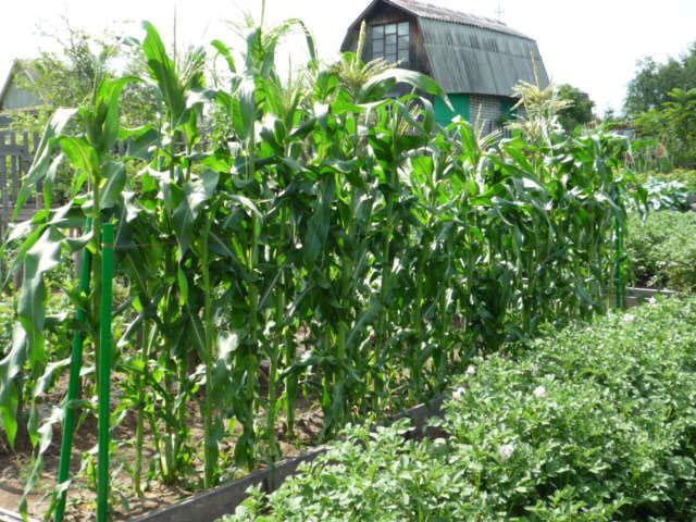 После кукурузы можно сажать 113