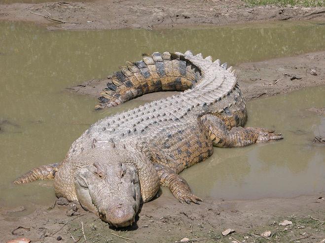 Это крокодил