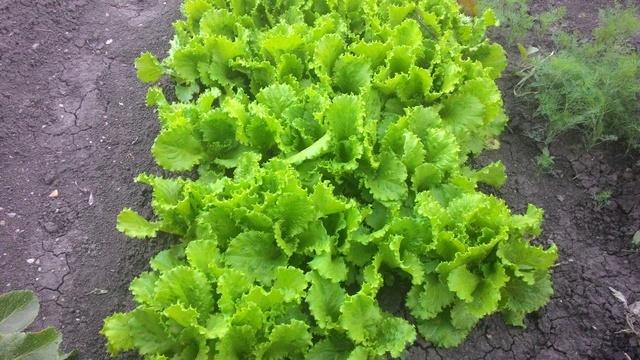 Как сажать салат листовой в грунт