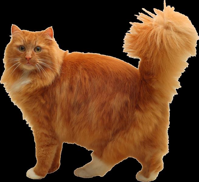 рыжий кот на белом фоне