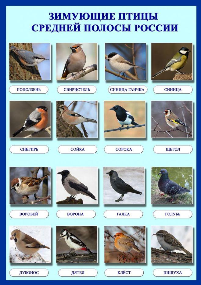 Зимующие птицы картинки с названиями в россии