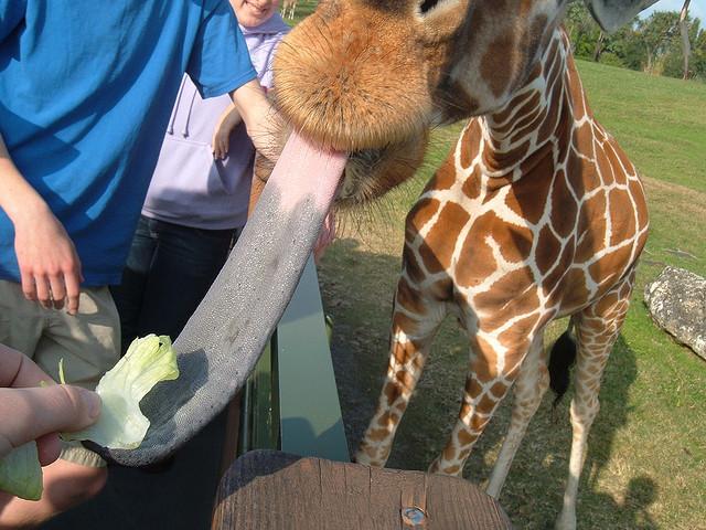 у девушка жирафа сосет