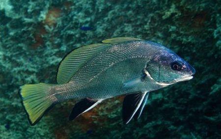 рыбы на букву г горбыль
