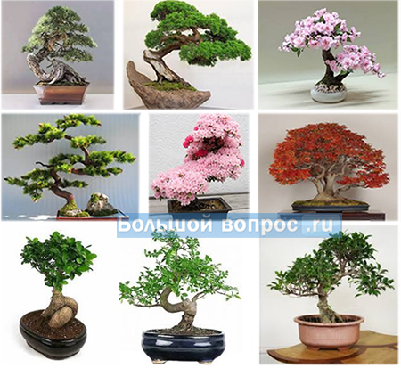 """карликовое дерево из шести букв """"бонсай"""""""