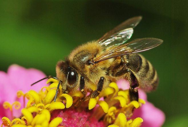 """""""Пчелы фото"""""""