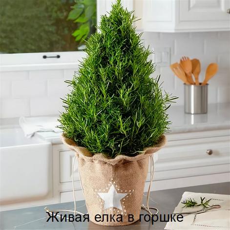 Живая елка в горшке