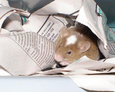 Почему хомяк ест бумагу
