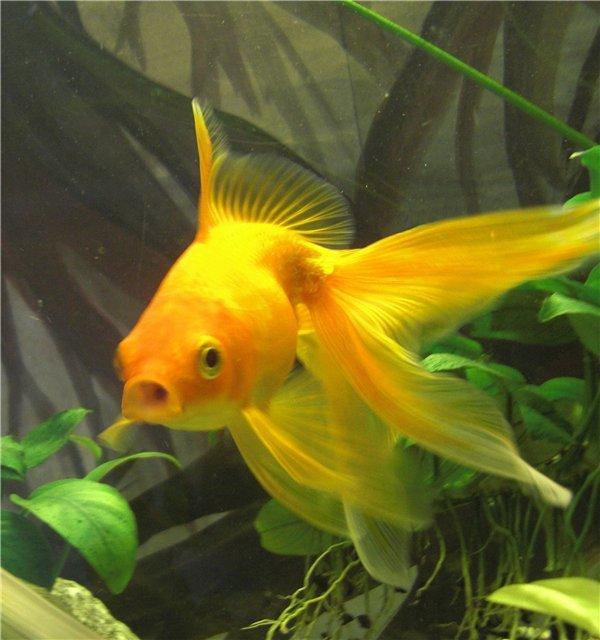 Кого можно сажать с золотыми рыбками 546
