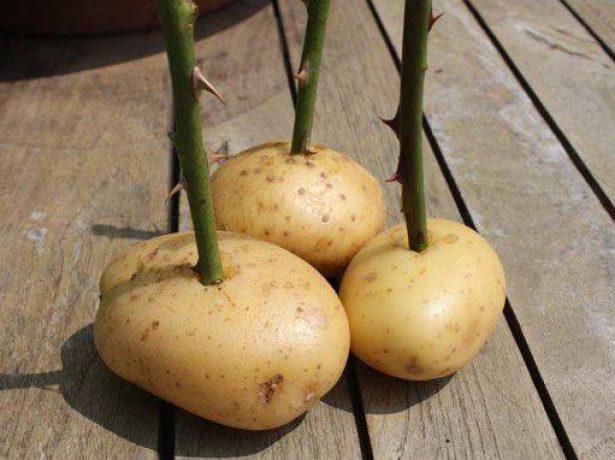 Укоренение черенками в картошке, фото, как сделать самостоятельно?