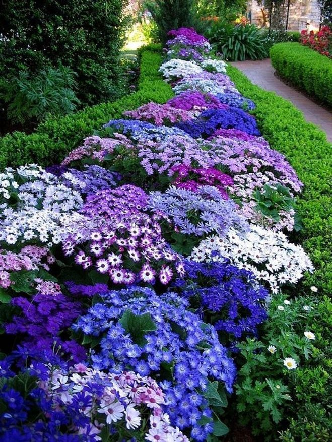 Голубые цветы в саду