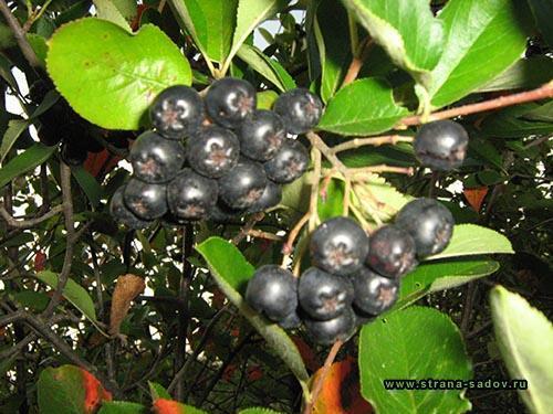Как выглядит черноплодная рябина