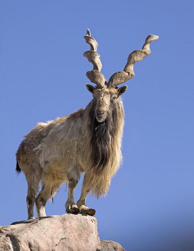 Винторогий козёл