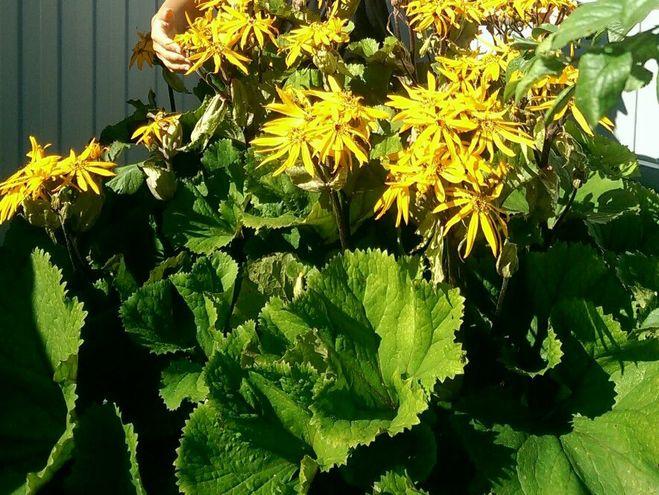 Желтый цветок с большими листьями: как называется (см. фото)?