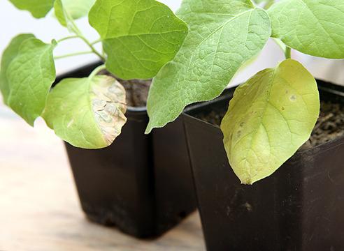 Почему белеют листья у рассады баклажан 27