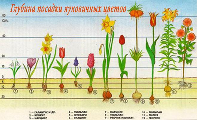 Виды луковичных домашних цветов