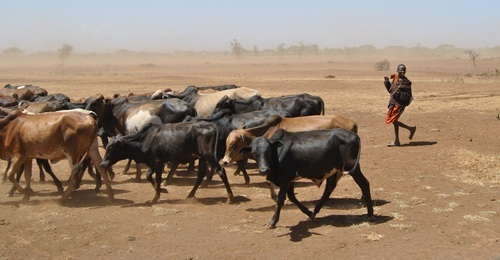 Перегон коров в Африке