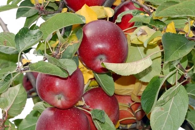 фото яблоня новость алтая описание