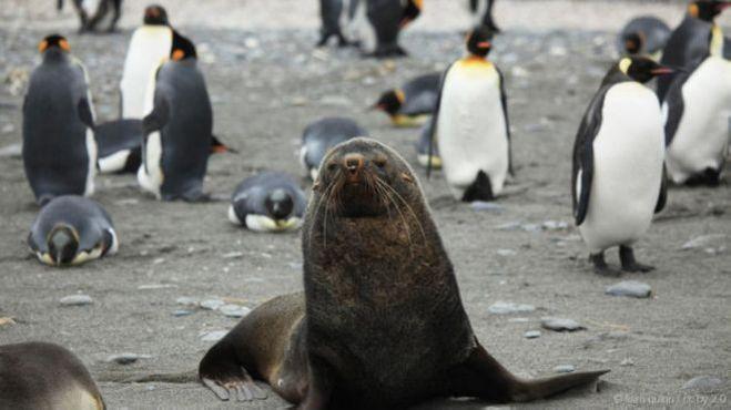 морской котик и пингвин,секс у морских котиков и пингвинов