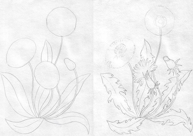 Одуванчик карандашом рисунок