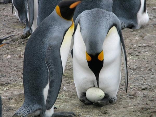 пингвины высиживают яйца