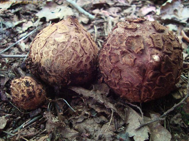 Звездовик черноголовый (Geastrum melanocephalum)
