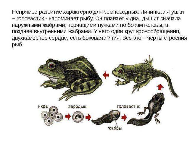 родство рыб и земноводных
