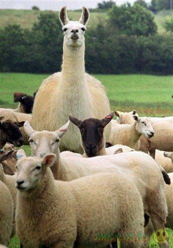 Ламы защищают овец от койотов.