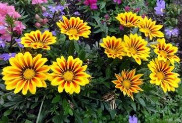 Желтый цветок похожий на ромашку название