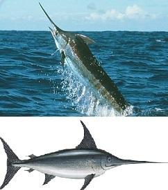 Доклад про рыбу меч