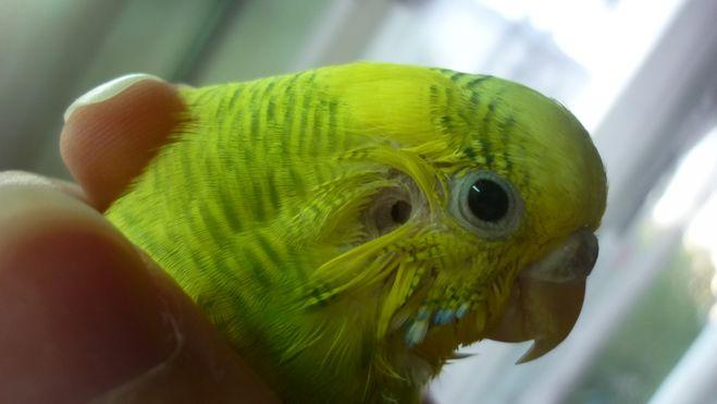 Попугай волнистый лежит