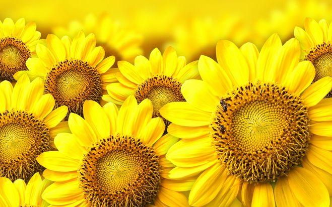 Солнышко цветы
