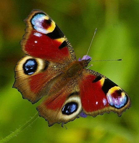 Как нарисовать бабочку павлиний глаз