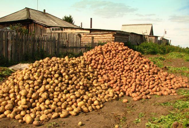 На сколько сажают картошку 886