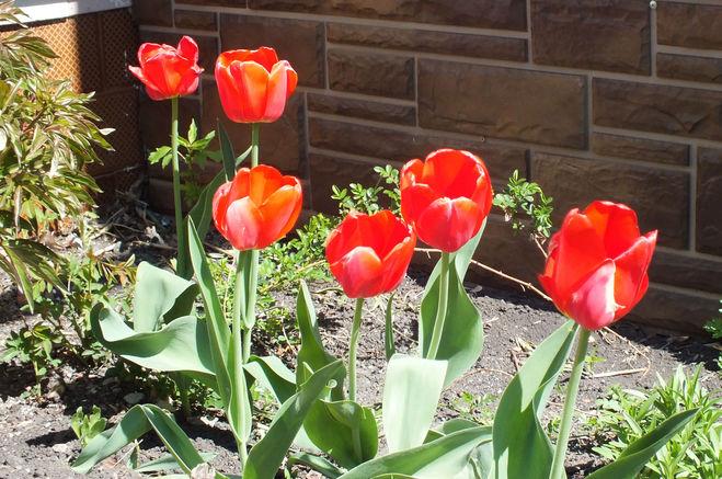 Цветут красивые тюльпаны