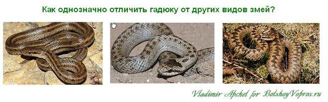 как отличить гадюку от других змей, виды змей, какие змеи опасны, какие змеи безопасны, что отличает ядовитую змею, как вести себя при встрече со змеёй
