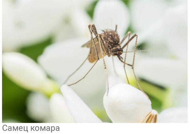 Самец комара не пьёт кровь