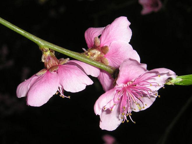 Сакура из фоамирана
