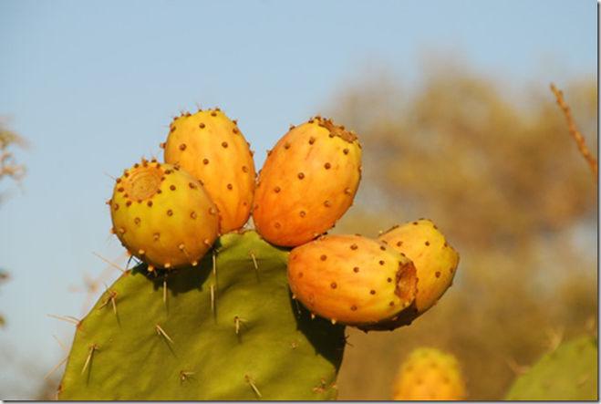 Плод кактуса называется