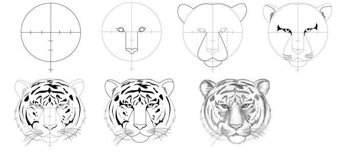 Рисунки поэтапно тигр